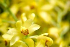 Flor de Phaius flavus Fotos de archivo
