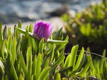 Flor de Pigface en la floración Fotografía de archivo
