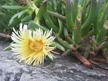Flor de Pigface en la floración Foto de archivo libre de regalías