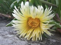 Flor de Pigface en la floración Imagen de archivo