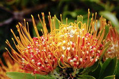 Flor de Pincushion Foto de Stock Royalty Free