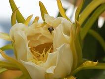 Flor de Pitaya imagem de stock