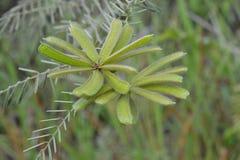 Flor de plantas espinosas imagen de archivo