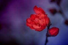 Flor de Plum Blossom en primavera Imágenes de archivo libres de regalías