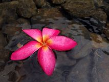 Flor de Plumaria Imagem de Stock Royalty Free