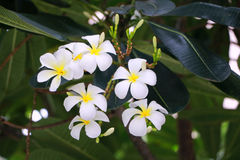 Flor de Plumaria Fotos de archivo libres de regalías