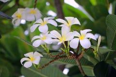 Flor de Plumaria Foto de archivo libre de regalías