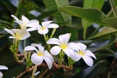 Flor de Plumaria Fotografía de archivo