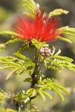 Flor de Pohutuakawa del árbol Imágenes de archivo libres de regalías