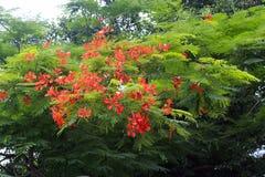 Flor de Poinciana imagens de stock royalty free