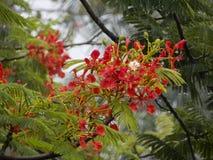 Flor de Poinciana Fotografia de Stock