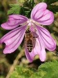 Flor de polinización de la abeja Fotografía de archivo