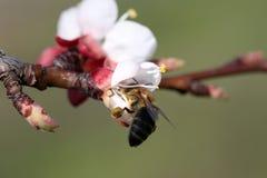 Flor de polinización de la abeja Fotografía de archivo libre de regalías