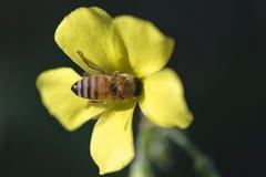 Flor de polinización de la abeja Imágenes de archivo libres de regalías