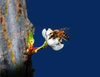 Flor de polinización de la abeja de la miel Imagenes de archivo