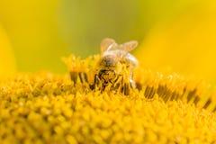 Flor de polinización de la abeja de la miel del girasol amarillo en el verano Fotografía de archivo libre de regalías