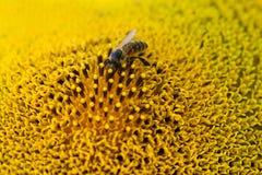 Flor de polinización de la abeja de la miel Semillas e insecto de girasol macras de la visión que buscan el néctar Profundidad de Foto de archivo libre de regalías