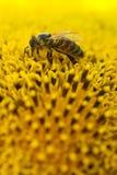 Flor de polinización de la abeja de la miel Semillas e insecto de girasol macras de la visión que buscan el néctar Profundidad de Fotos de archivo libres de regalías