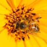 Flor de polinización de la abeja del insecto Imagen de archivo libre de regalías