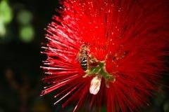 Flor de polinización de la abeja en primer Foto de archivo