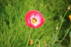 Flor de polinización de la avispa Foto de archivo libre de regalías