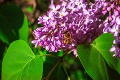 Flor de polinización de la lila de la abeja Fotografía de archivo libre de regalías