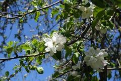 Flor de polinización de la manzana de la abeja de la miel en primavera Fotos de archivo