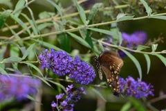 Flor de polinización de la mariposa de emperador de la almecina Imágenes de archivo libres de regalías