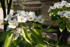 Flor de polinización de la pera de la abeja en primavera Fotografía de archivo libre de regalías