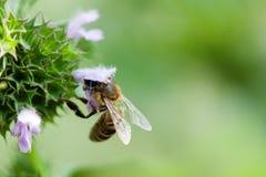 Flor de polinización de la primavera de la abeja de la miel Pétalo violeta e insecto de la visión macra que buscan el néctar Prof Foto de archivo