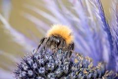 Flor de polinización del abejorro Imagen de archivo libre de regalías