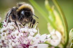 Flor de polinización del abejorro Foto de archivo