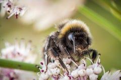 Flor de polinización del abejorro Foto de archivo libre de regalías
