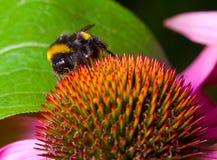 Flor de polinización del abejorro Fotos de archivo