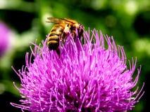 Flor de polinización del cardo de la abeja Fotografía de archivo libre de regalías