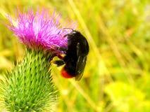 Flor de polinización del cardo del abejorro Fotos de archivo libres de regalías