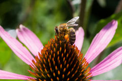 Flor de polinización del echinacea de la abeja Fotos de archivo libres de regalías