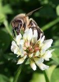 Flor de polinización del trébol de la abeja europea Fotos de archivo libres de regalías