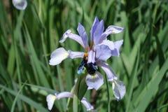 Flor de polinización de la abeja de carpintero del iris de la mariposa Fotos de archivo libres de regalías