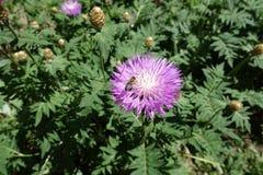 Flor de polinización de la abeja de la miel del dealbata del Centaurea Fotos de archivo