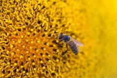 Flor de polinización de la abeja de la miel Semillas e insecto de girasol macras de la visión que buscan el néctar Profundidad de Imágenes de archivo libres de regalías