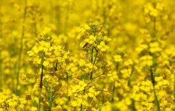 Flor de polinización de la abeja de una rabina, un campo enorme hermoso Imagen de archivo libre de regalías