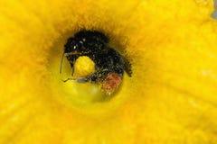 flor de polinización Rojo-atada del abejorro negro Imagen de archivo