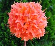 Flor de Pom Pom Imagens de Stock Royalty Free