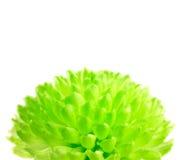 Flor de Pom Pom do verde de cal isolada no branco Imagens de Stock