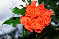 Flor de Pomegranade Fotos de Stock