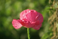 Flor de Popeye no rosa Fotos de Stock