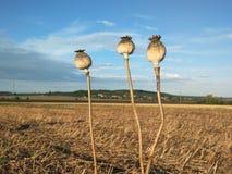 Flor de Poppyheads Fotos de Stock