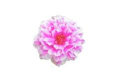 Flor de Portulaca aislada Imagen de archivo