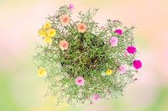 Flor de Portulaca Fotografía de archivo libre de regalías